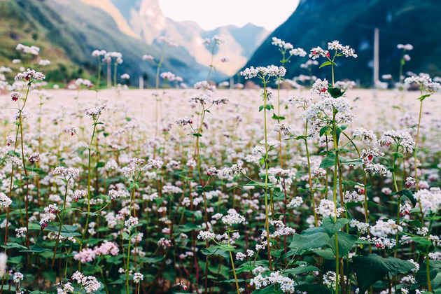 buckwheat flower ha giang vietnam tours