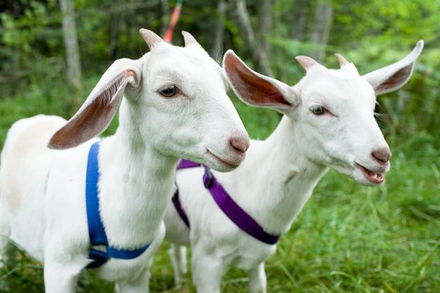 goat vietnamese zodiac sign