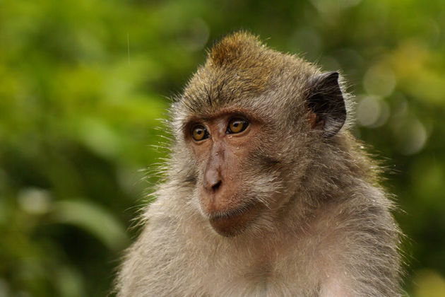 monkey vietnamese zodiac signmonkey vietnamese zodiac sign