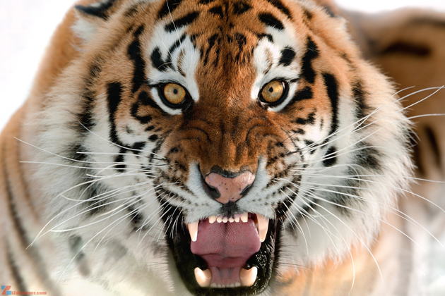 tiger vietnamese zodiac sign