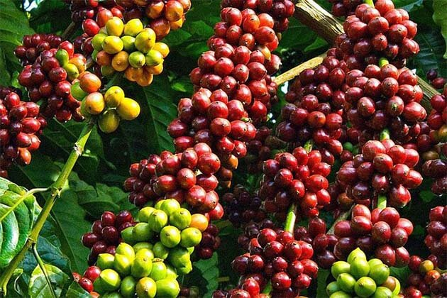 Buon Me Thuat Coffee, Vietnam Tours